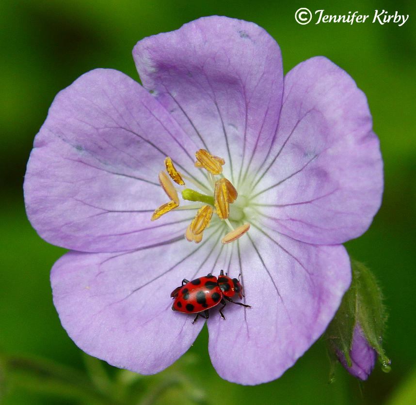 Wildflowers in Minnesota Wild Geranium