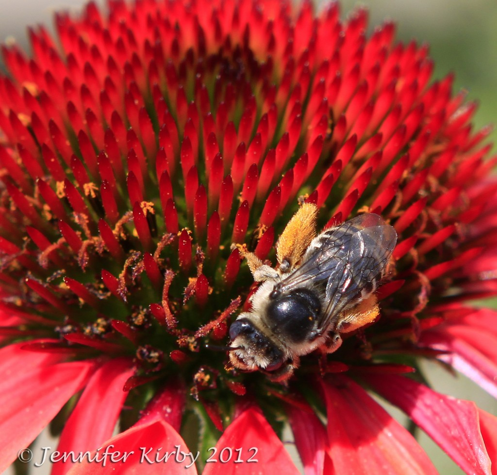 Minnesota Coneflower and Busy Bee